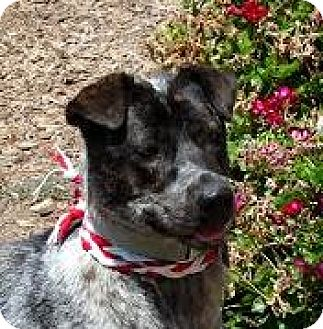Australian Cattle Dog Mix Dog for adoption in Lucasville, Ohio - Olena