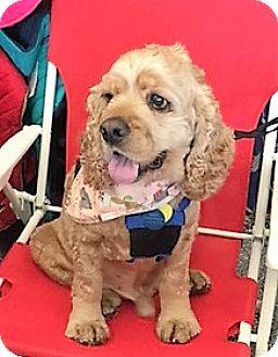 Cocker Spaniel Dog for adoption in Sacramento, California - Robbie--ADOPTED!!