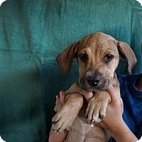 Adopt A Pet :: Jazzy - Oviedo, FL