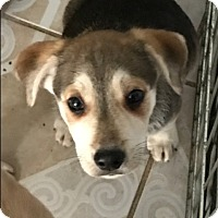 Husky/Fox Terrier (Smooth) Mix Puppy for adoption in BONITA, California - Lobito