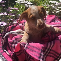 Australian Cattle Dog Mix Puppy for adoption in El Cajon, California - Cattle Dog pups