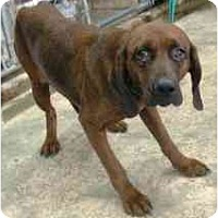 Adopt A Pet :: Redbone Mix - Alliance, OH