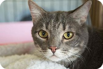 Domestic Shorthair Cat for adoption in Los Angeles, California - Sammy