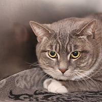Domestic Shorthair Cat for adoption in El Cajon, California - Bobbie