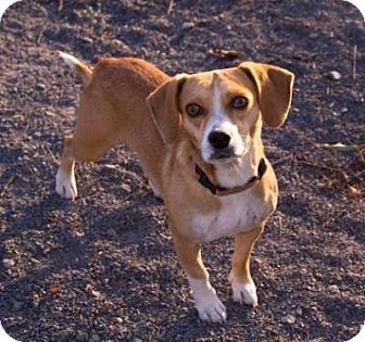 Beagle Mix Dog for adoption in Fairfax, Virginia - Comet