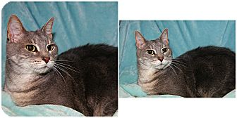 Domestic Shorthair Cat for adoption in Forked River, New Jersey - Palermo