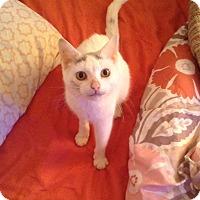 Adopt A Pet :: Snowflake - Cumbeland, MD