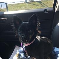 Adopt A Pet :: Bella   COURTESY POSTING - St. Charles, MO