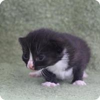 Adopt A Pet :: Inky - Alpharetta, GA