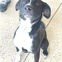 Adopt A Pet :: gadget - Marion, IN