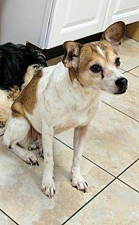 Rat Terrier Dog for adoption in Newark, Delaware - Twillie