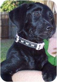 Labrador Retriever Puppy for adoption in Altmonte Springs, Florida - Nyla