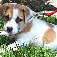 Adopt A Pet :: Beethoven - Los Angeles, CA