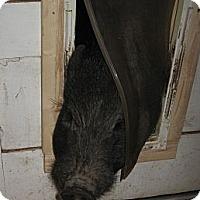 Adopt A Pet :: Mr. Piggy in El Cajon, CA - Las Vegas, NV