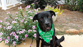 Labrador Retriever/Australian Shepherd Mix Dog for adoption in Alpharetta, Georgia - Mia