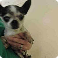 Adopt A Pet :: Oreo - Wallingford Area, CT