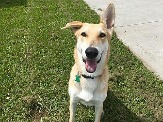German Shepherd Dog/Greyhound Mix Dog for adoption in Myakka City, Florida - Stryker