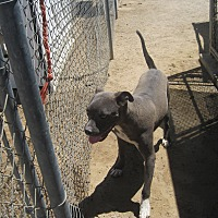 Pit Bull Terrier Mix Dog for adoption in Lancaster, California - Snoopy