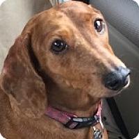 Adopt A Pet :: Trixie Tomyum - Houston, TX