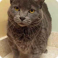 Russian Blue Cat for adoption in Downers Grove, Illinois - ADOPTED!!!   Sophie