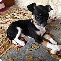 Adopt A Pet :: Justice - MCLEAN, VA