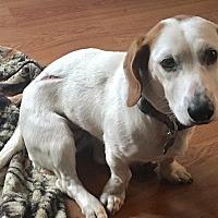 Adopt A Pet :: Duchess - Hagerstown, MD