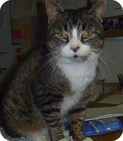Domestic Shorthair Cat for adoption in Hamburg, New York - Marble