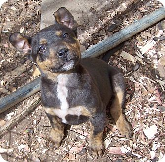 Hound (Unknown Type)/Terrier (Unknown Type, Medium) Mix Puppy for adoption in Greensboro, Georgia - Kenmore- Adoption Pending!