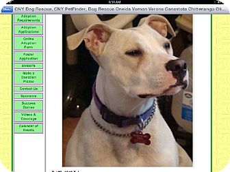 Pit Bull Terrier Dog for adoption in Staten Island, New York - Toby - Sweet Boy!