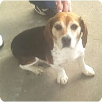 Adopt A Pet :: Buddy - Indianapolis, IN