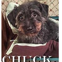 Adopt A Pet :: Chuck - Essex Junction, VT