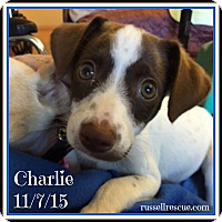 Adopt A Pet :: Charlie In DFW ADOPT PENDING - Dallas/Ft. Worth, TX