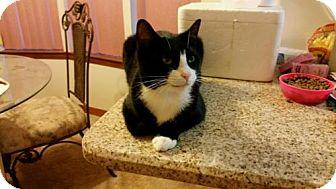 Domestic Shorthair Cat for adoption in Crestview, Florida - Jasmine