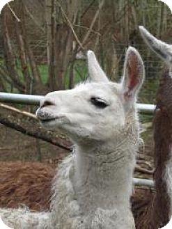 Llama for adoption in Quilcene, Washington - Judy