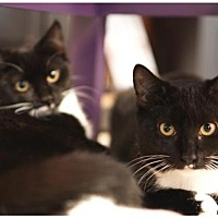 Domestic Shorthair Cat for adoption in Westwood, New Jersey - Georgie & Gracie