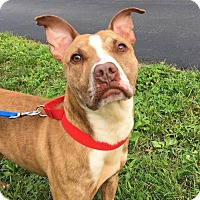 American Pit Bull Terrier Mix Dog for adoption in Lafayette, New Jersey - Liam