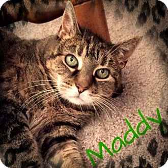 Domestic Shorthair Cat for adoption in Ronkonkoma, New York - Maddy
