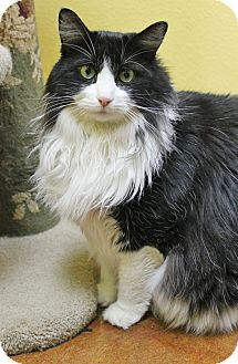 Maine Coon Cat for adoption in Benbrook, Texas - Sebastian