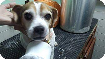 Beagle Mix Dog for adoption in cleveland, Ohio - Annie