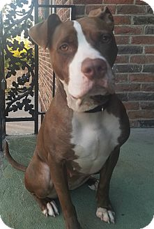 German Shorthaired Pointer/Pit Bull Terrier Mix Dog for adoption in Oak Park, Illinois - Gala