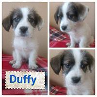 Adopt A Pet :: Duffy - LAKEWOOD, CA