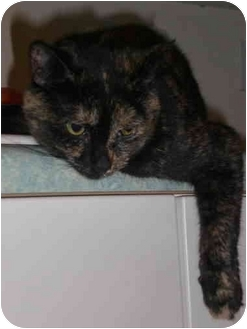 Domestic Shorthair Cat for adoption in Waukesha, Wisconsin - Gabriella