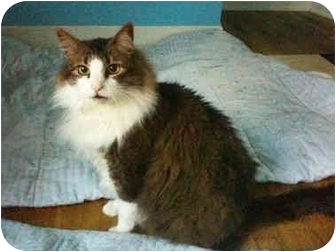 Domestic Longhair Cat for adoption in Bartlett, Tennessee - Jazz