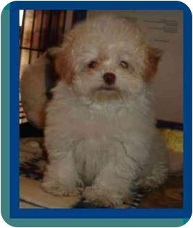 Bichon Frise/Pomeranian Mix Puppy for adoption in Berlin, Wisconsin - Adeline