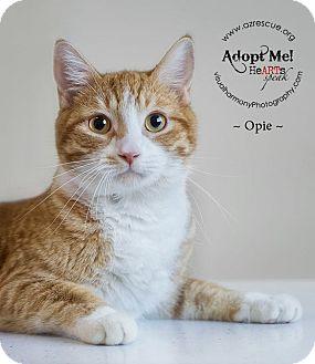 Domestic Shorthair Cat for adoption in Phoenix, Arizona - Opie