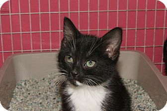 Domestic Shorthair Kitten for adoption in Memphis, Tennessee - Matilda