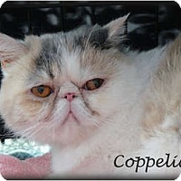 Adopt A Pet :: Coppelia aka Parfait - Beverly Hills, CA