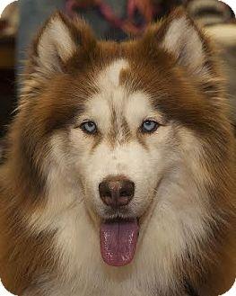 Husky Dog for adoption in North Haledon, New Jersey - Baron