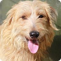 Adopt A Pet :: Hansel - Norwalk, CT