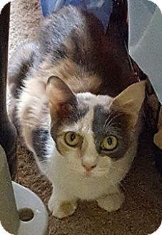 Calico Cat for adoption in McDonough, Georgia - Sedona